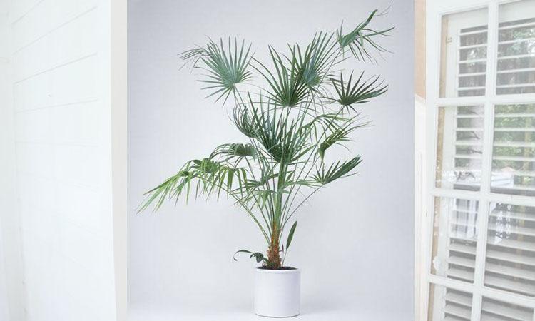 จั๋ง (Lady Palm)