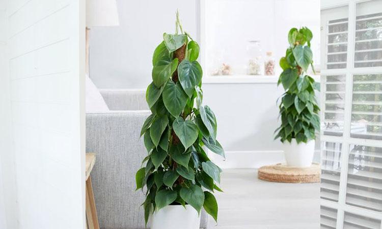 ฟิโลเดนดรอน (Philodendron)