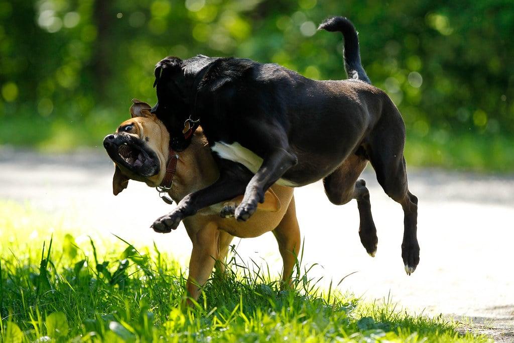 ทำไมโรคพิษสุนัขบ้ามักจะมาในหน้าร้อน?